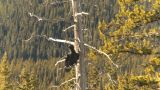 HD2009-1-7-19 Raven In Tree, Flies Off stock footage