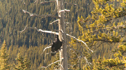 HD2009-1-7-19 raven in tree, flies off Stock Video Footage