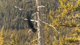 HD2009-1-7-19 raven in tree, flies off Stock Video Footage