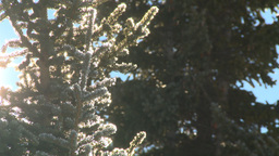 HD2009-1-7-25 water dripping off snow covered tree Stock Video Footage