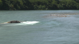 HD2009-7-8-12 river seagulls TL Stock Video Footage
