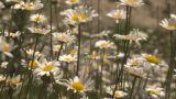 HD2009-7-9-8 Field Of Daisies Rack stock footage