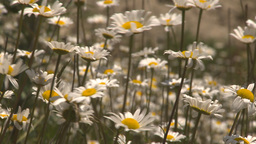 HD2009-7-9-8 field of daisies rack Footage