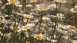 HD2009-7-9-8 field of daisies rack Stock Video Footage