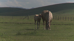HD2009-7-10-13RC horse and colt Stock Video Footage