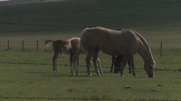 HD2009-7-10-15RC horse and colts Stock Video Footage