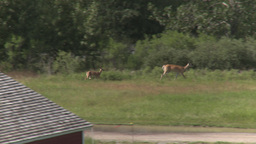 HD2009-7-10-21RC deer and young Footage