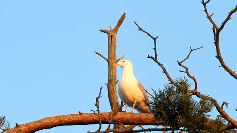 seagull big white on a branch. colony of birds. vo Footage