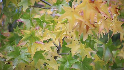 liquidambar fall leaves Footage