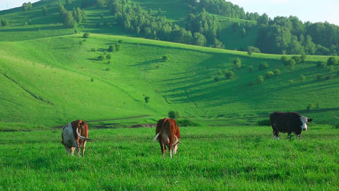 Grazing cows Footage