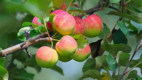 Apples Footage