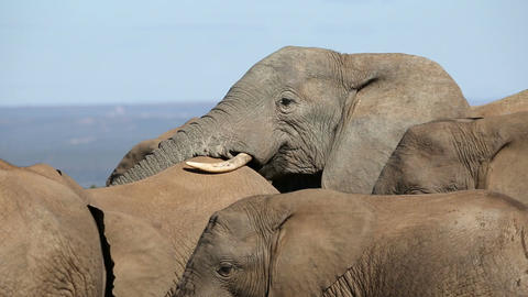 African elephant interaction Footage