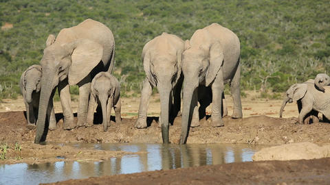 African elephants drinking water Footage