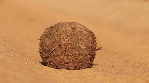 Dung beetles Footage