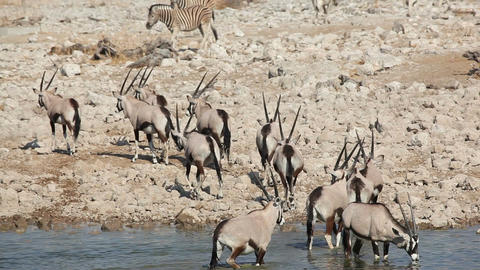 Gemsbok antelopes at waterhole Footage