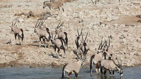 Gemsbok antelopes at waterhole Footage