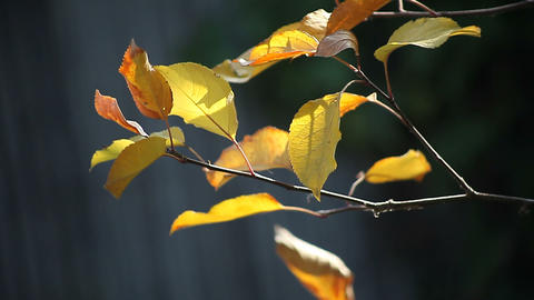Leaves In The Fall stock footage