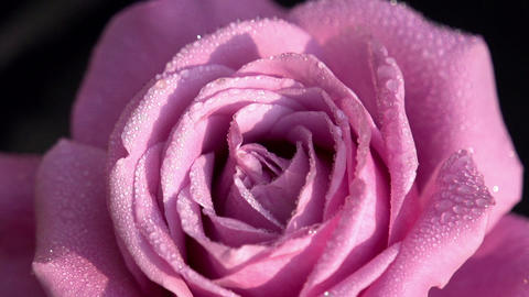 Buds Of Roses With Water Droplets