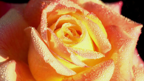 Buds Of Roses With Water Droplets 0