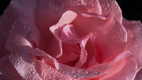 Buds Of Roses With Water Droplets 2