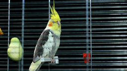 Cockatiel Resting In His Iron Cage stock footage