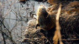 Big Brown Nutria On Riverbank Cleaning Itself stock footage