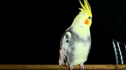 Cockatiel On A Stick Of Iron Cage stock footage
