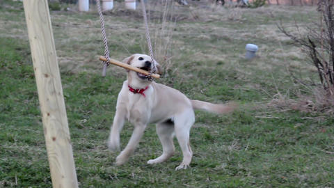 Puppy playing on wooden stick Footage