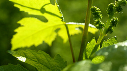 Sliding On Young Grapes In Spring Close Up stock footage