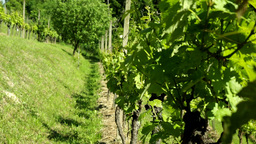 Static Shoot Of Vineyard Plantation stock footage