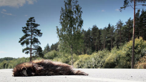 A dead animal Raccoon dog on a highway being passe Footage