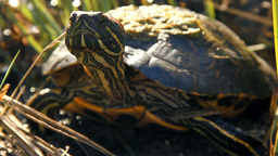 Turtle Looking Around stock footage