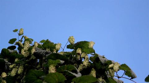 Hop Humulus like Walnut Tree Blooming many beautif Footage