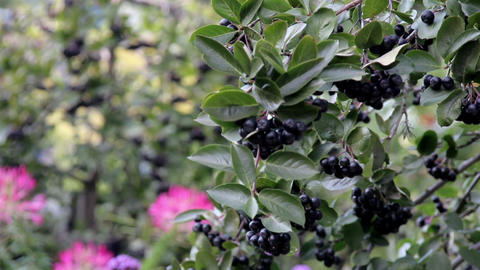 Blue Berries Tiny Fruits All Bunched Up In The Tre stock footage
