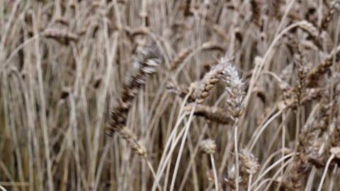 Ripe kernels of wheat Footage