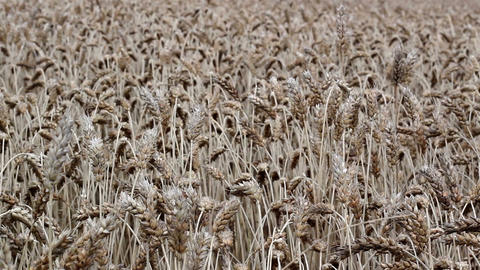 Overhead View Of The Ripe Wheat stock footage