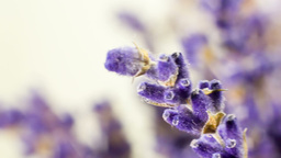 Lavender Flower Buds In Extreme Close Up stock footage