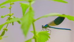 Dragonfly Behind Leaves Extreme Close Up stock footage