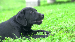 SLOW MOTION: Black Labrador Biting Bone stock footage