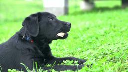 Labrador Enjoying Bone On Grass In Slow Motion stock footage
