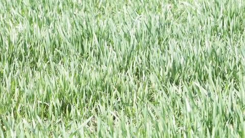 winter wheat field in spring Footage