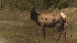 HD2009-6-9-36 elk grazing Stock Video Footage