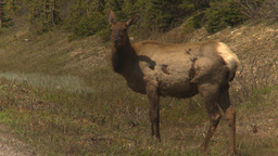 HD2009-6-9-36 elk grazing Footage