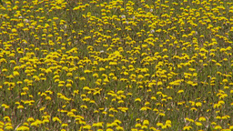HD2009-6-11-1RC dandelion field Footage