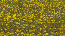 HD2009-6-11-1RC dandelion field Stock Video Footage