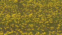 HD2009-6-11-1RC dandelion field Stock Video Footage