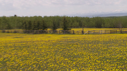 HD2009-6-11-3RC dandelion field Stock Video Footage