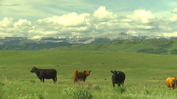 HD2009-6-19-22 cattle and mountains Stock Video Footage