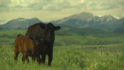 HD2009-6-19-24 cattle and mountains Stock Video Footage