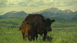 HD2009-6-19-24 cattle and mountains Footage